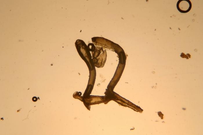 Aetea anguinea (Linnaeus, 1758)
