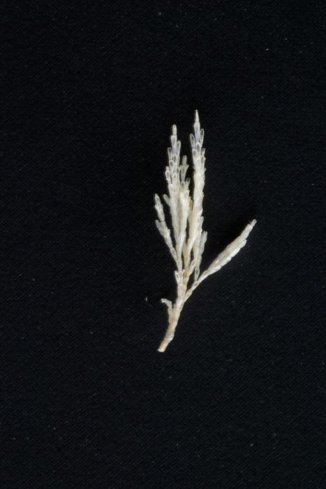 Eucratea loricata (Linnaeus, 1758)