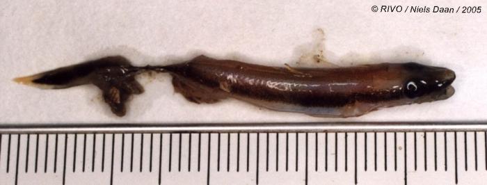 Molva molva (Linnaeus, 1758)
