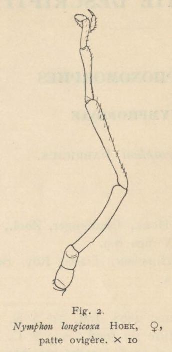 Giltay (1934, fig. 02)