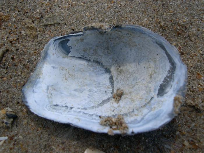 afgeknotte (strand)gaper Mya truncata
