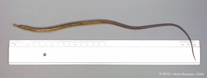 Entelurus aequoreus (Linnaeus, 1758)