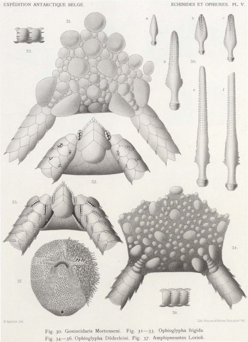 Koehler (1901, pl. 5)