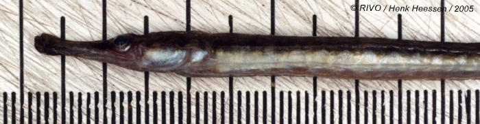 Syngnathus rostellatus Nilsson, 1855