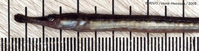 Syngnathus rostellatus Nilsson, 1855