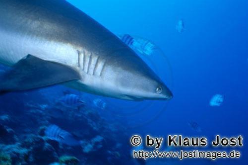 Carcharhinus amblyrhynchos