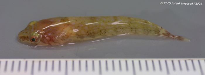 Diplecogaster bimaculata (Bonnaterre, 1788)