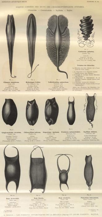 Dollo (1904, pl. 09)