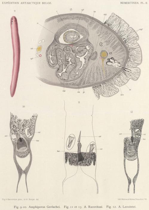 Burger (1904, pl. 2)