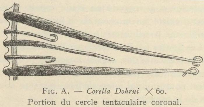 Van Beneden; de Selys Longchamps (1913, fig. A)