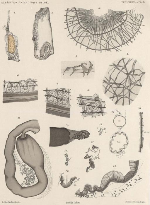 Van Beneden; de Selys Longchamps (1913, pl. 02)