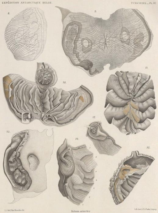 Van Beneden; de Selys Longchamps (1913, pl. 04)