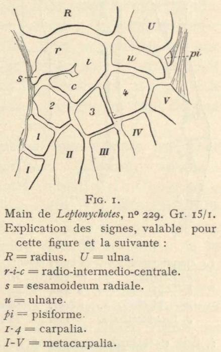 Leboucq (1904, fig. 1)