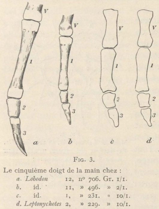 Leboucq (1904, fig. 3)