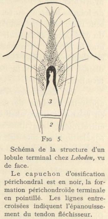 Leboucq (1904, fig. 5)