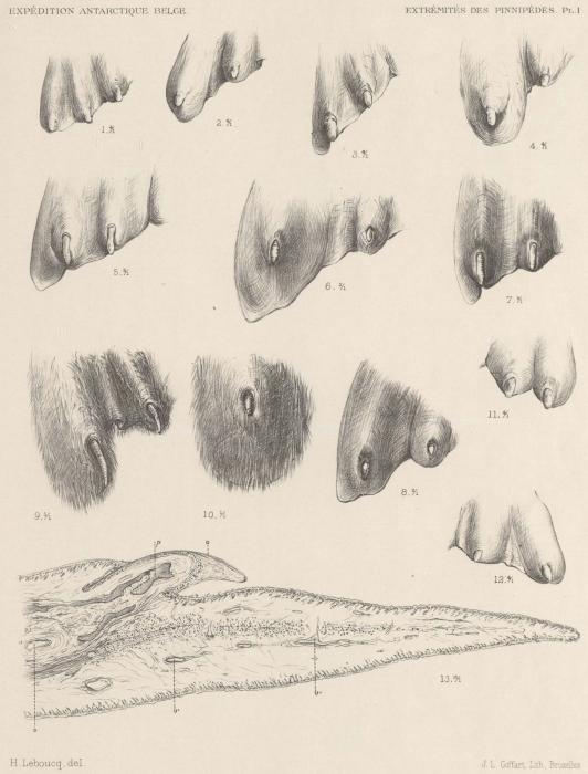 Leboucq (1904, pl. 1)