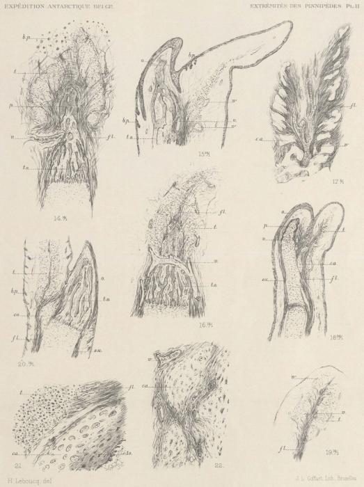 Leboucq (1904, pl. 2)