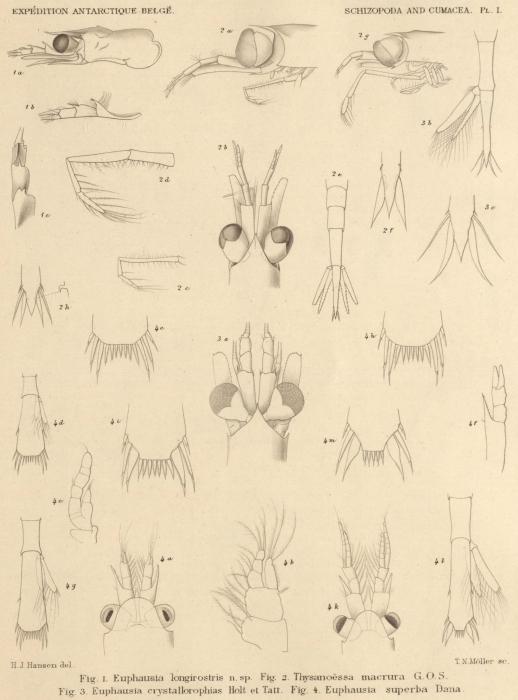 Hansen (1908, pl. 1)