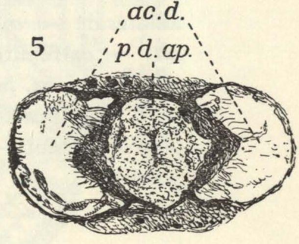 Leloup (1938, fig. 5)