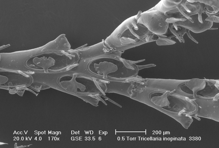 Tricellaria inopinata