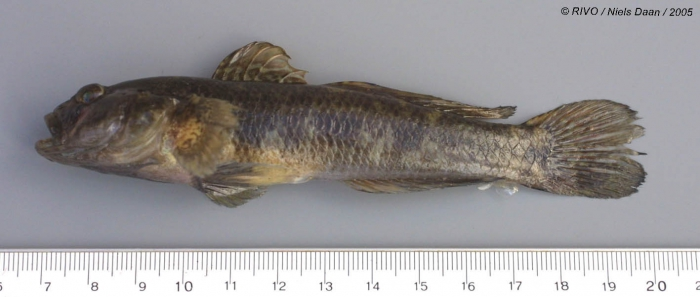 Gobius niger Linnaeus, 1758