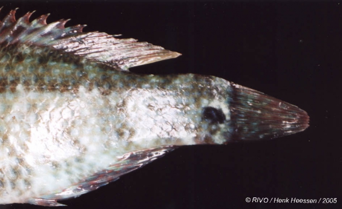 Symphodus (Crenilabrus) melops (Linnaeus, 1758)