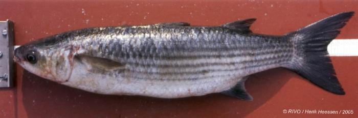 Chelon labrosus (Risso, 1827)