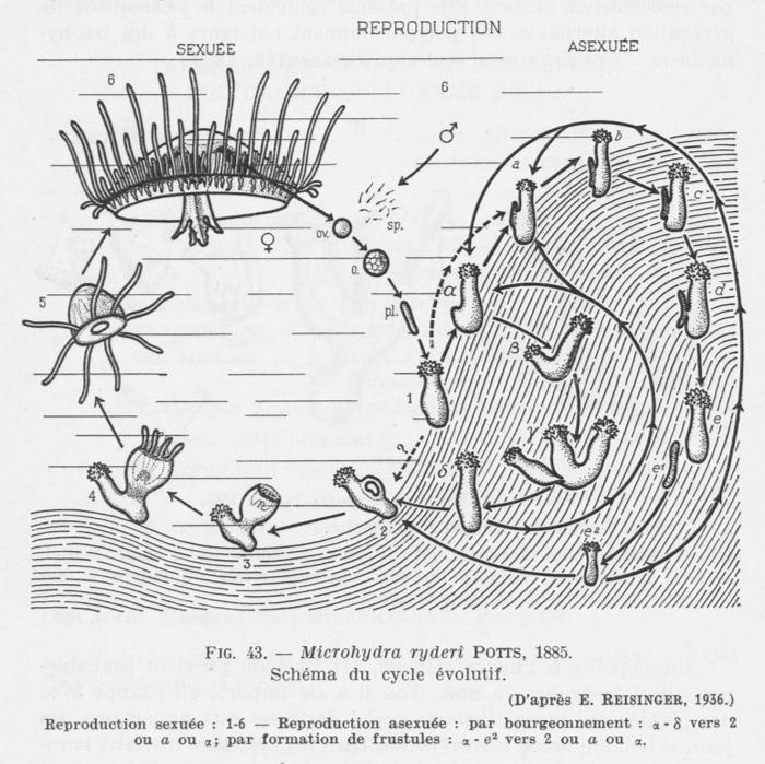 Leloup (1952, fig. 43)