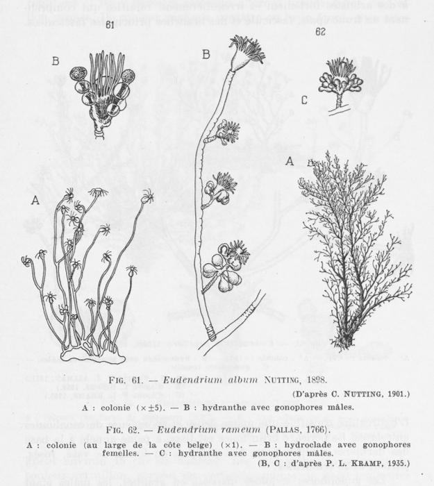 Leloup (1952, fig. 61 & 62)