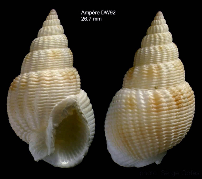 Nassarius denticulatus (Adams A., 1852)Shell from Ampère seamount, 35°03'N, 12°53'W, 117-129, 'Seamount 1' DW92  (size 26.7 mm)