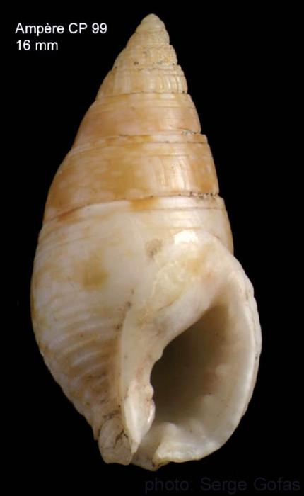 Nassarius recidivus (von Martens, 1876)Shell from Ampère seamount , 35°04'N, 12°55'W, 225-280 m 'Seamount 1' CP99 (size 16 mm)