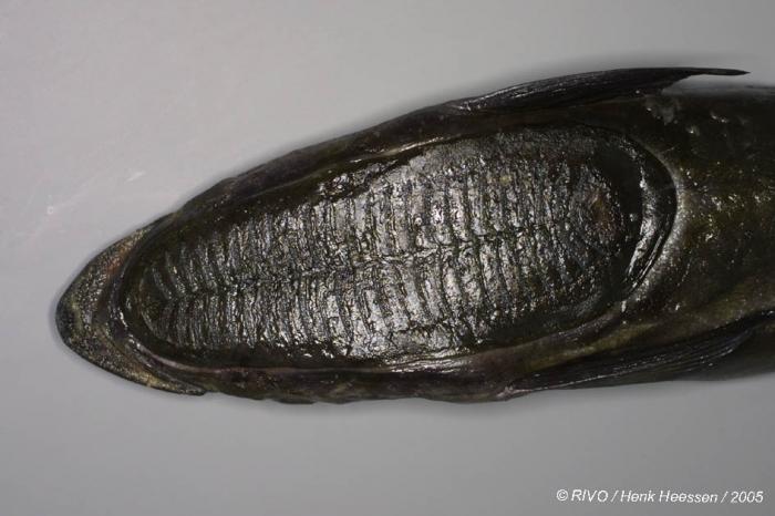 Echeneis naucrates Linnaeus, 1758