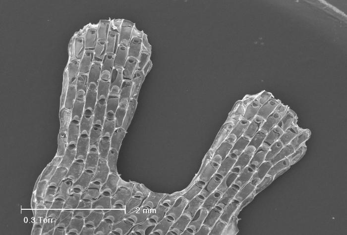Chartella papyracea