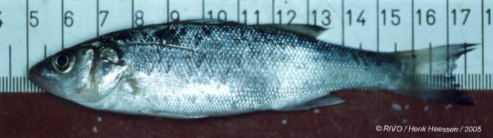 Dicentrarchus labrax (Linnaeus, 1758)