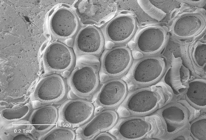 Crassimarginatella solidula (Hincks, 1860)