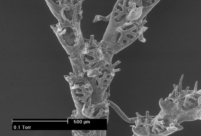 Scrupocellaria reptans (Linnaeus, 1767)