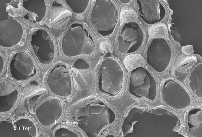 Parellisina curvirostris (Hincks, 1862)