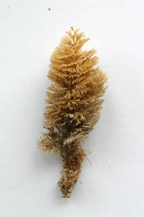 Bugula turbinata Alder, 1857, specimen from Marloes Sands, Wales, 2000