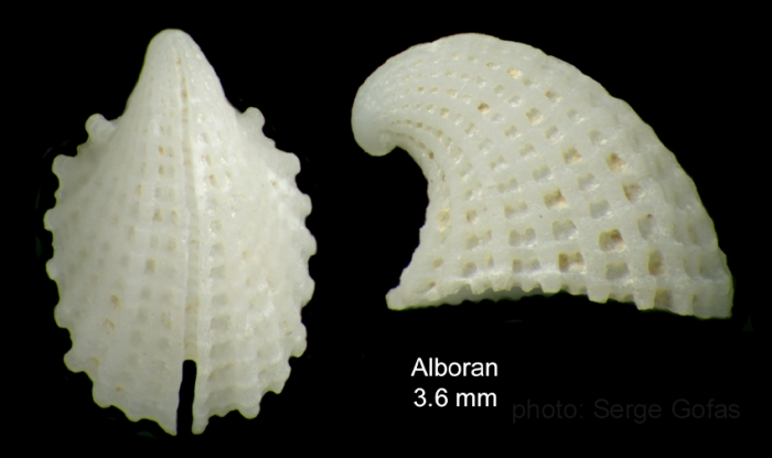 Emarginula rosea Bell, 1824Shell from off Alboran island (80-200 m), actual size 3.6 mm