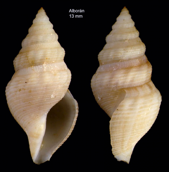 Gymnobela abyssorum (Locard, 1897)Specimen from off Alboran island, ca. 200 m depth (actual size 13 mm)