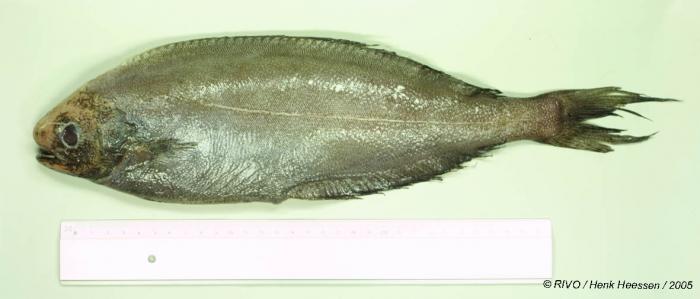 Schedophilus medusophagus Cocco, 1829