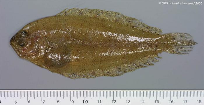 Arnoglossus laterna (Walbaum, 1792)
