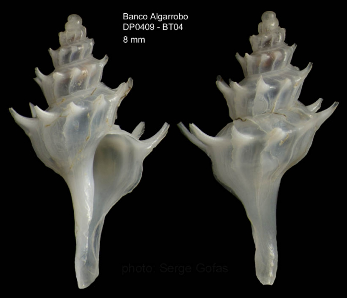 Pagodula echinata (Kiener, 1840) Specimen from Djibouti bank, Alboran Sea, 349-365 m (actual size : 8 mm)