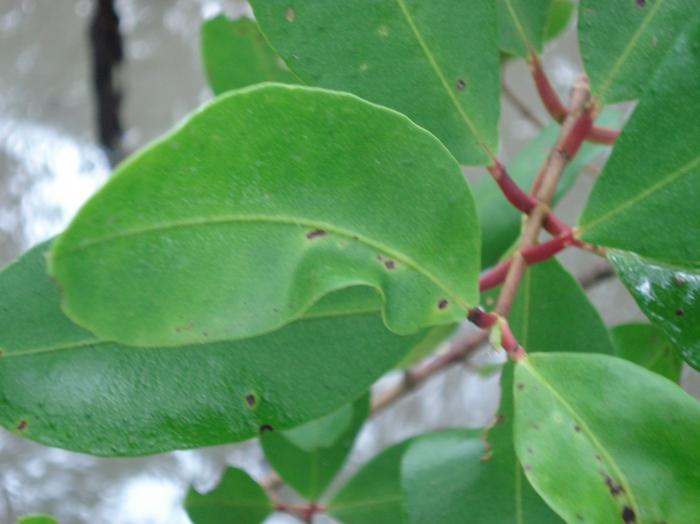 Laguncularia racemosa