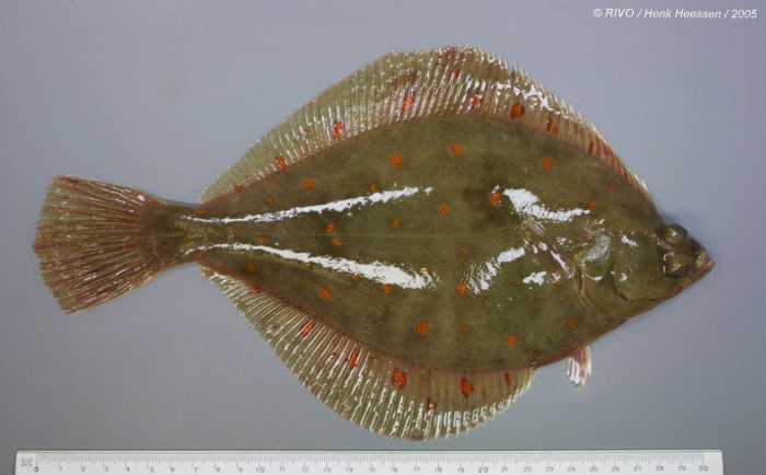 Pleuronectes platessa Linnaeus, 1758