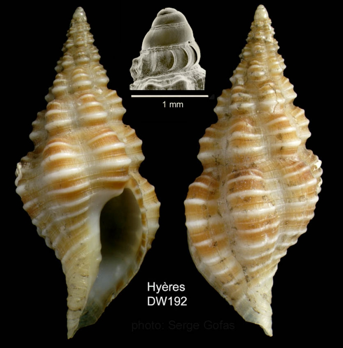 Latirus rugosissimus (Locard, 1897)Specimen from Hyres seamount, 3127.9'N,  2859.1'W, 750 m,  'Seamount 2' DW192 (actual size 20 mm)