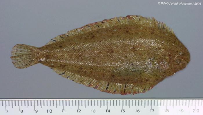 Buglossidium luteum (Risso, 1810)