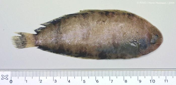Microchirus (Microchirus) variegatus (Donovan, 1808)
