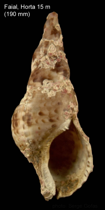 Charonia variegata(Lamarck, 1816)Shell from off Horta, Faial, Azores (size 190 mm)