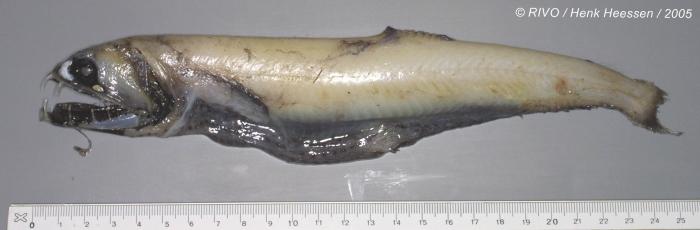 Stomiidae sp